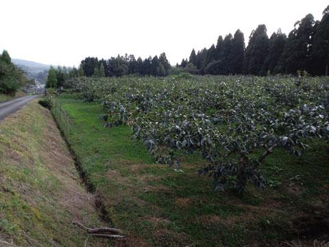 陽をたっぷり浴び、自然の中で栽培されている紋平柿