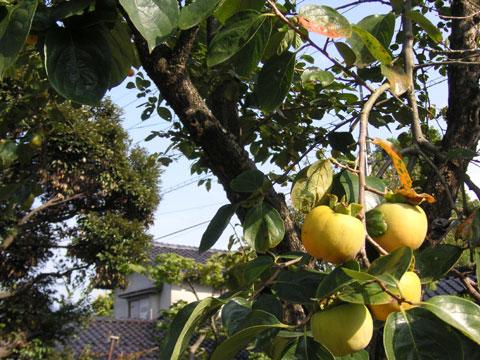 お向かいの庭先にある百目柿