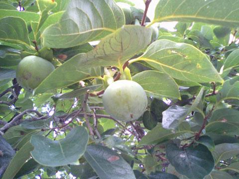 近所の庭にある柿の木になっている柿の実