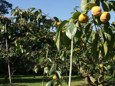 2009年10月22日の紋平柿