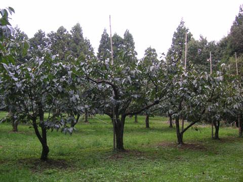2010年10月24日の紋平柿