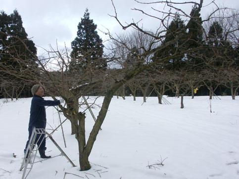 紋平柿畑で剪定作業をする城村さん
