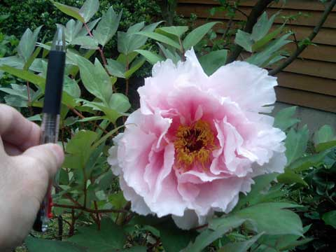 庭に咲いているボタン