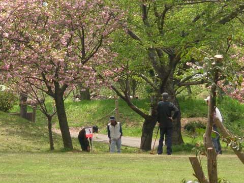 桜の下でグラウンドゴルフに熱中しています
