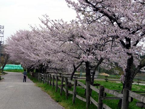 敷地内(牧場内)の桜