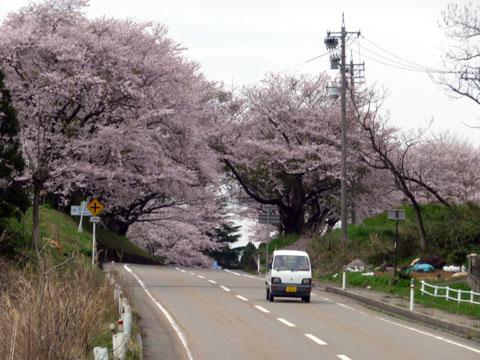 大きな桜並木の中を車で走る事が出来ます。
