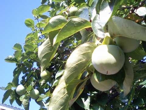 大き目の玉子くらいの大きさになっている柿の実
