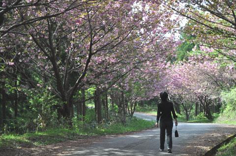高地谷林道の八重桜トンネル