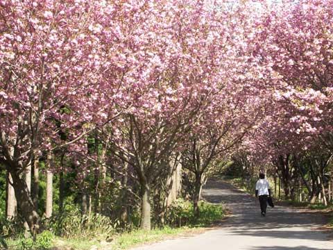高知谷林道の山桜のトンネル