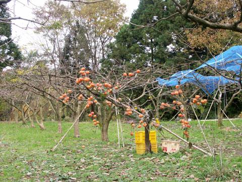 畑の中に1本だけ残った紋平柿