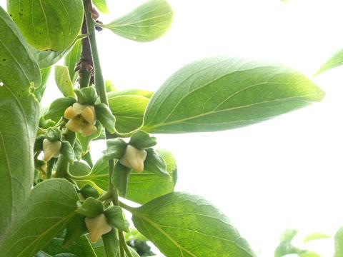 紋平柿の花