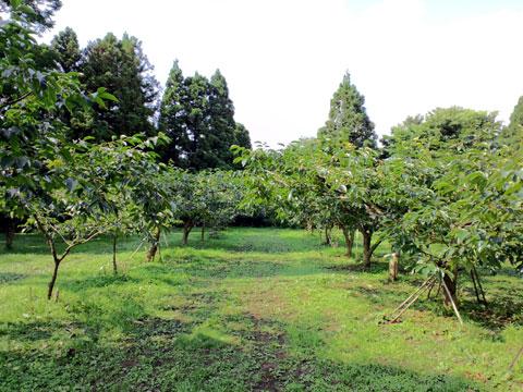 清々しく葉を付けている紋平柿