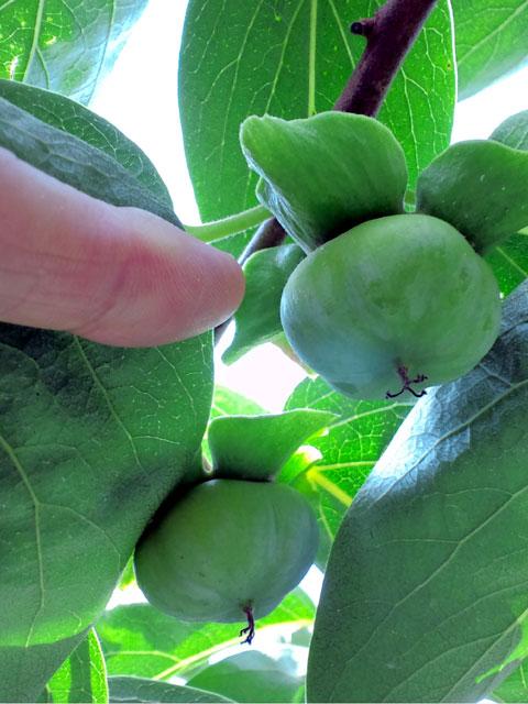 親指の先、ふたつ分ほどの大きさになっている紋平柿