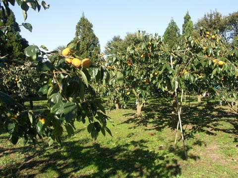 2009年10月22日の紋平柿畑