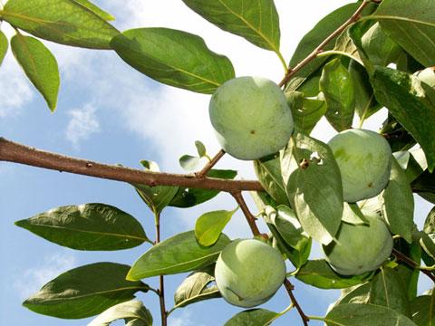 城村(きむら)農園さんの畑の紋平柿