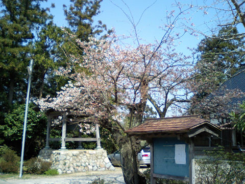 当店自宅の向こう隣にあるお寺さんの桜、4月5日です