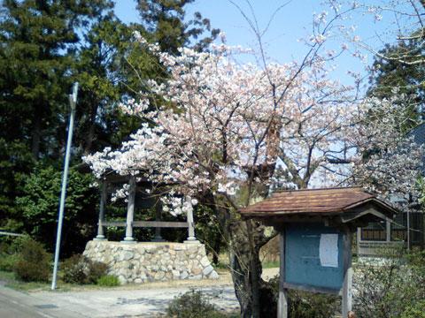 当店自宅の向こう隣にあるお寺さんの桜、4月6日です