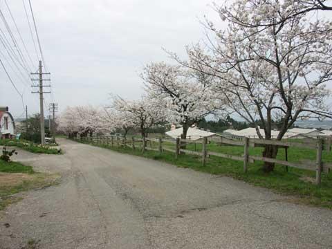 石川県畜産試験場内の桜