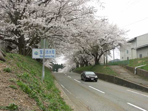 石川県畜産試験場内の桜2