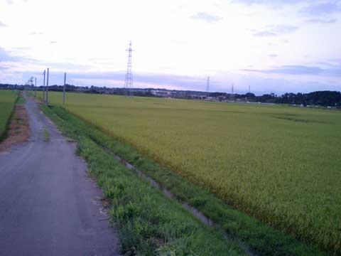 数週間後に刈入れを控えた、私の家の近所にある8月末頃の水田