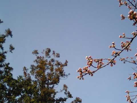自宅の向かいにあるお寺さんの境内にある桜の枝