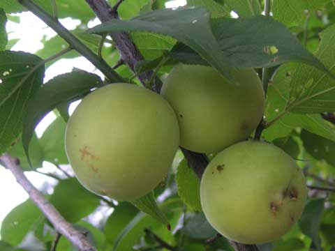 今年の梅の木になっていた梅の実です。