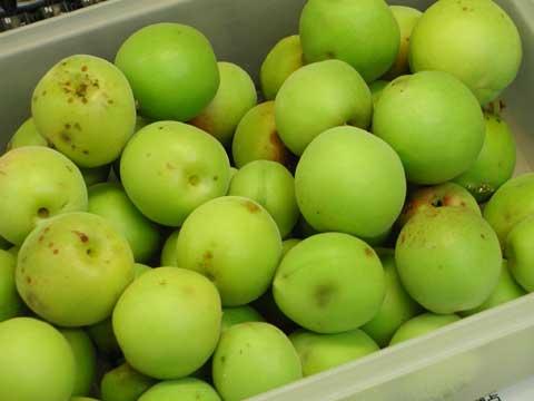 日本酒ベースの梅酒になる予定の収穫した梅の実です。