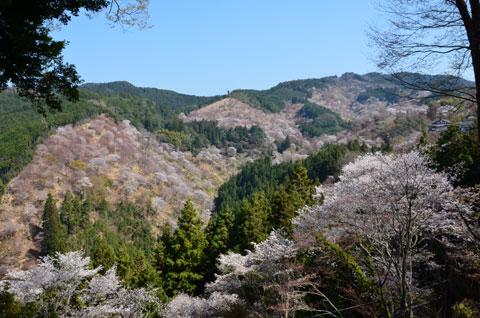山が桜で埋まっている下千本、中千本、上千本