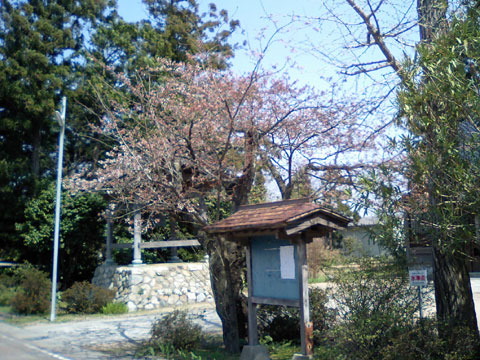 当店自宅の向こう隣にあるお寺さんの桜、4月4日です